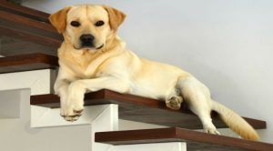 stair treads dogs